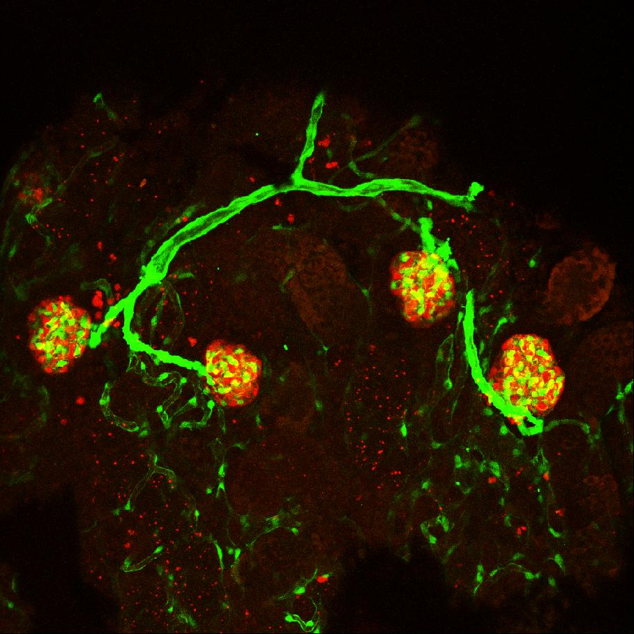 3D rendering of vasculature (green) and mesonephric nephrons (red) in flk1::GFP/pod::mCherry double-transgenic fish